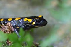 Le portrait de vue de côté a repéré le salamandr de salamandra de salamandre de feu Images libres de droits