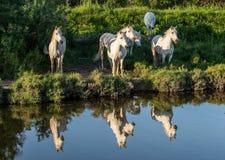 Le portrait des chevaux de Camargue de blanc s'est reflété dans l'eau Images stock