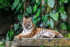 Le portrait des tigres sibériens se reposent image stock