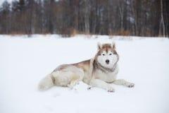 Le portrait du barzoï russe de race magnifique de chien se tenant dans l'herbe verte et la renoncule jaune mettent en place en ét photos libres de droits