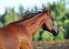 Le portrait du beau cheval rouge en été images stock