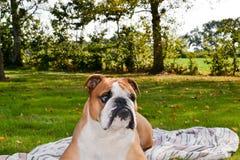 Le portrait du bouledogue anglais calme sérieux s'étendent sur la nature photos stock