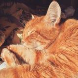 Le portrait du chat Photo stock
