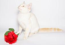 Le portrait du chat d'amant avec s'est levé Photos libres de droits