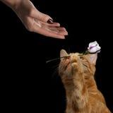 Le portrait du chat de gingembre a apporté la fleur comme cadeau à la femme Image stock