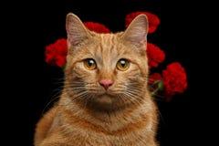 Le portrait du chat de gingembre apporté s'est levé comme cadeau Photos stock