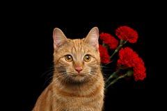 Le portrait du chat de gingembre apporté s'est levé comme cadeau Images stock