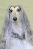 Le portrait du chien de lévrier afghan très vieux Photos libres de droits