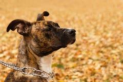 Le portrait du terrier bringé du Staffordshire sur le fond de la chute part dans un parc Image stock