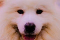 Le portrait intense d'un chien de Samoyed image libre de droits