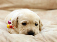 Le portrait jaune doux de chiot de Labrador en couleurs perle Images libres de droits