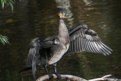 Le portrait noir de Cormorant avec des ailes s'ouvrent image libre de droits