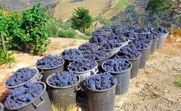 Le Portugal, vallée de Douro : Raisins Images stock