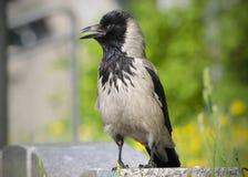 Le pose grige del corvo sulla macchina fotografica Fotografie Stock