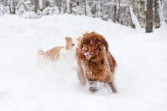 Le poseur rouge irlandais Les chiens jouent les uns avec les autres image libre de droits