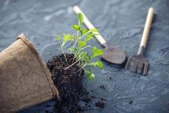 Le pot avec la terre et des pousses des plantes vertes fleurit sur le fond concret Concept de l'élevage et du jardinage à la mais Image libre de droits