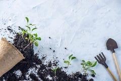 Le pot avec la terre et des pousses des plantes vertes fleurit sur le fond concret Concept de l'élevage et du jardinage à la mais Image stock