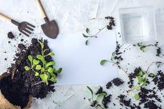 Le pot avec la terre et des pousses des plantes vertes fleurit sur le fond concret Concept de l'élevage et du jardinage à la mais Images libres de droits