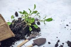 Le pot avec la terre et des pousses des plantes vertes fleurit sur le fond concret Concept de l'élevage et du jardinage à la mais Photo libre de droits
