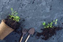 Le pot avec la terre et des pousses des plantes vertes fleurit sur le fond concret Concept de l'élevage et du jardinage à la mais Photo stock