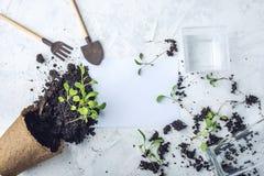 Le pot avec la terre et des pousses des plantes vertes fleurit sur le fond concret Concept de l'élevage et du jardinage à la mais Photographie stock