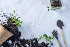 Le pot avec la terre et des pousses des plantes vertes fleurit sur le fond concret Concept de l'élevage et du jardinage à la mais Photos stock