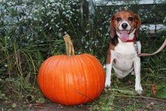 Le potiron du ` s de chien pour Halloween photographie stock libre de droits