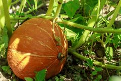 Le potiron orange mûr se trouve sur un potager dans un environnement naturel photographie stock
