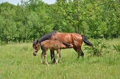 Le poulain de bébé buvant du lait maternel du cheval Photographie stock libre de droits