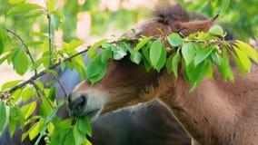 Le poulain mange des feuilles et des fruits sur l'arbre banque de vidéos