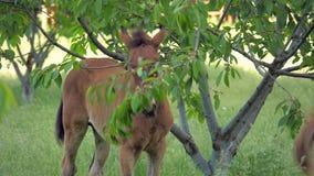 Le poulain mange des feuilles et des fruits sur l'arbre clips vidéos