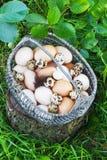Le poulet blanc et brun eggs dans un panier en métal dans un jardin sur un tronçon Photos stock