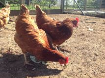 Le poulet mangent dans la ferme Photos stock