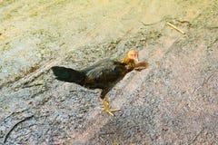 le poulet marchant sur le sol humide a rectifié avec la lumière du jour photographie stock libre de droits
