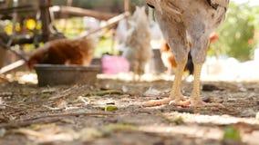 Le poulet marche au sol Plan rapproché Mouvement lent banque de vidéos