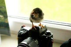 Le poulet noir est sur l'appareil-photo, qui est près de la fenêtre Il examine la distance photo Photo libre de droits