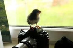 Le poulet nouveau-né noir est sur l'appareil-photo, qui est près de la fenêtre Il examine la distance photo Photographie stock libre de droits