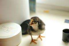 Le poulet nouveau-né noir se tient sur le rebord de fenêtre et donne admirablement une voix Près du film Image stock