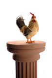 Le poulet puissant Photographie stock libre de droits