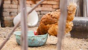 Le poulet rustique mange de la nourriture banque de vidéos