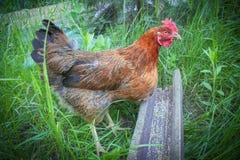 Le poulet se tient sur l'herbe et mange du conducteur photo libre de droits
