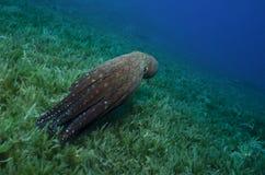 Le poulpe rouge nage en clair l'océan bleu Photographie stock libre de droits