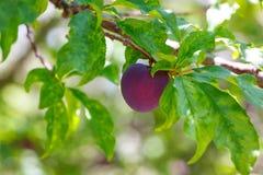 Le pourpre de prune avec le vert laisse l'élevage dans le jardin Photographie stock
