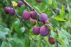 Le pourpre de prune avec le vert laisse l'élevage dans le jardin Plomb Prune sur la branche Prune mûre Image libre de droits