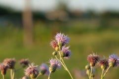 Le pourpre fleurit le chardon et les tiges vertes Fleurs en gros plan d'été Image libre de droits
