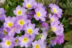 Le pourpre fleurit des primevères (la primevère vulgaris) Image stock