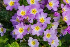 Le pourpre fleurit des primevères (la primevère vulgaris) Photographie stock