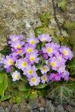 Le pourpre fleurit des primevères (primevère vulgaris) sur un lit Photos libres de droits
