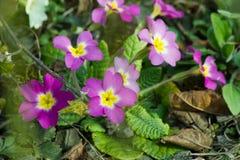 Le pourpre fleurit des primevères (primevère vulgaris) sur un lit Photographie stock libre de droits