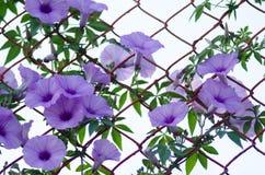 Le pourpre fleurit fleur de Cairica d'Ipomoea la belle sur l'étoile de la barrière A Photo libre de droits